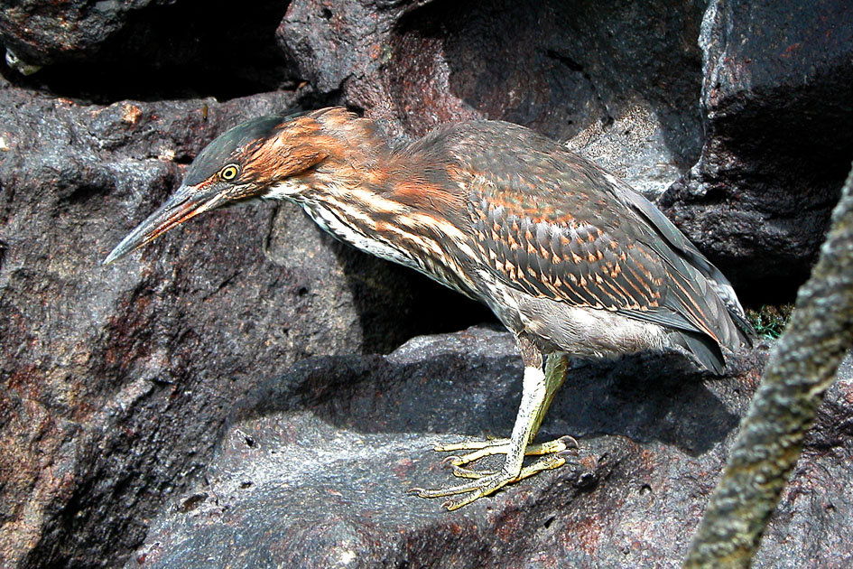 Striated or Lava Heron