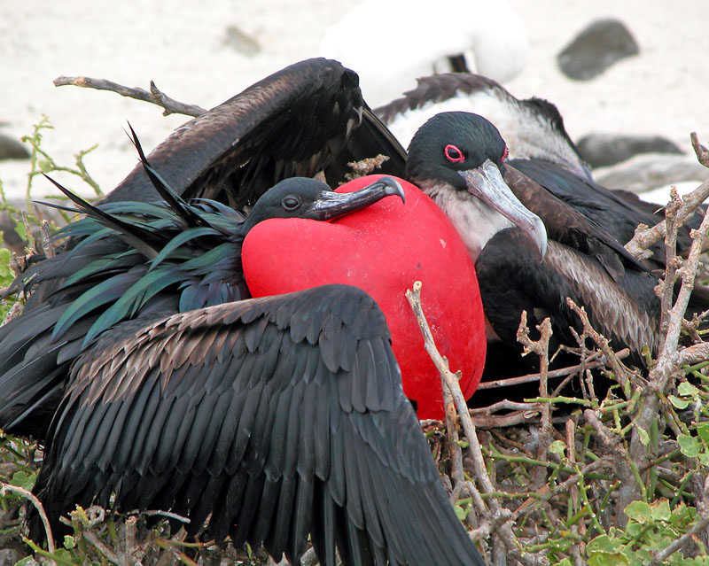 Male Frigate Bird displaying