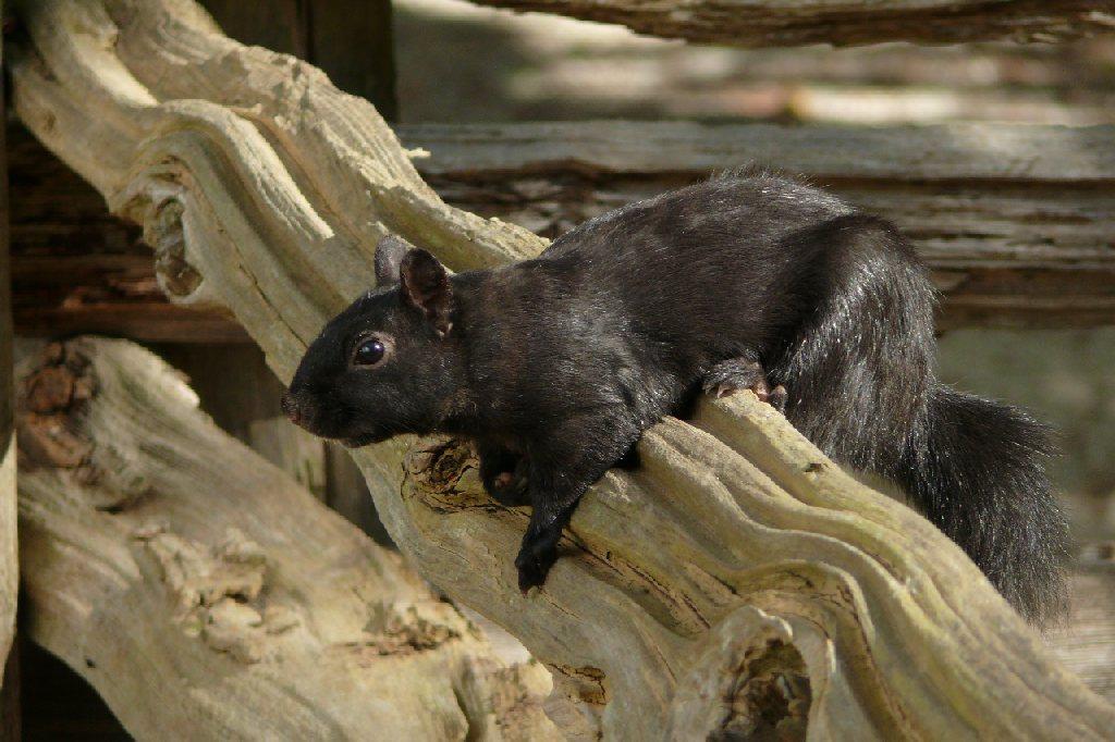 Squirrel, Black Creek, Toronto