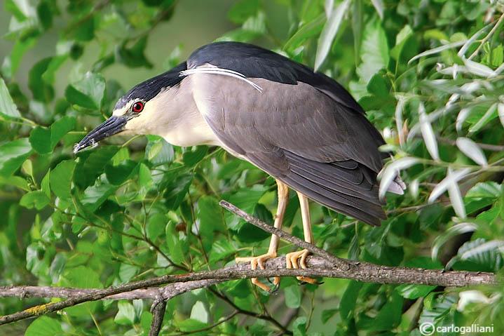Nitticora- Night-Heron  (Nycticorax nycticorax)