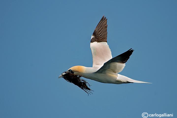 Sula-Northern Gannet  (Morus bassanus)