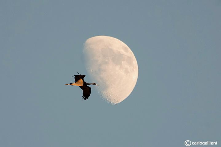 Cicogna nera (Ciconia nigra)