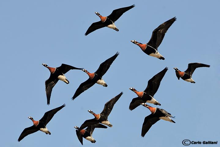 Oca collorosso-Red-breasted Goose  (Branta ruficollis)