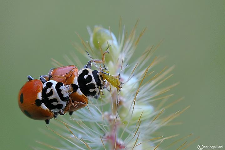 Hippodamia (Adonia) variegata.
