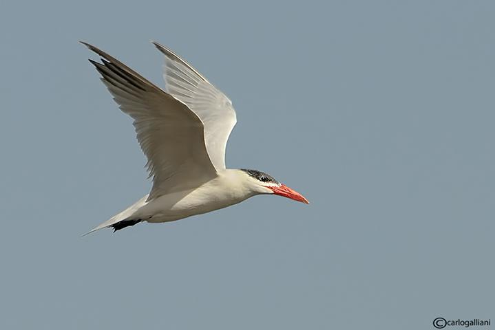 Sterna maggiore-Caspian Tern  (Sterna caspia)