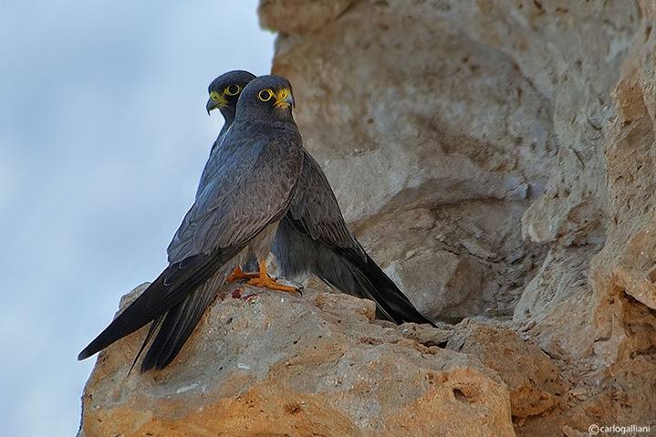 Falco unicolore (Falco concolor)