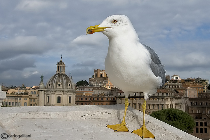 Gabbiano reale-Yellow-legged Gull  (Larus michahellis)