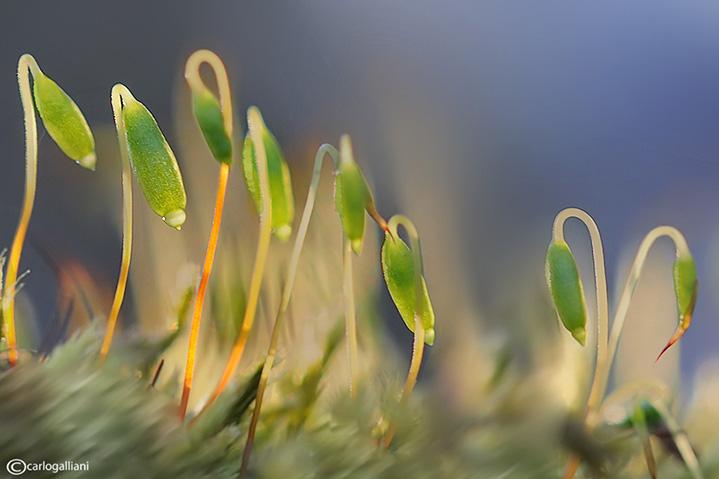 Muschio- Moss