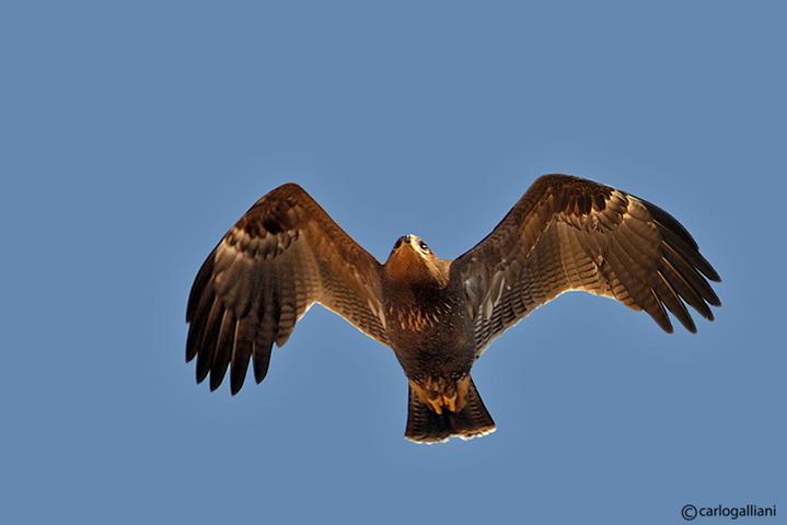 Aquila anatraia minore (Aquila pomarina )