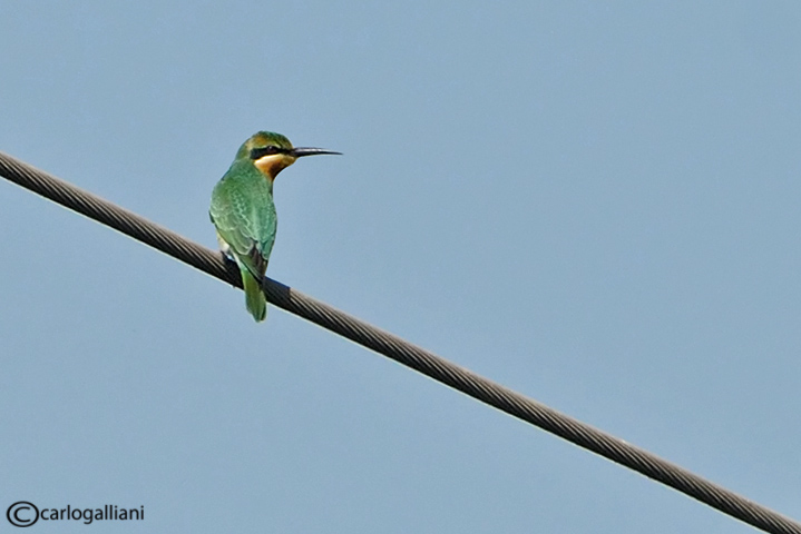 Gruccione egiziano -Blue-cheeked Bee-eater (Merops persicus)