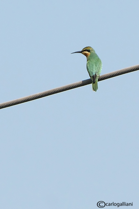 Gruccione egiziano -Blue-cheeked Bee-eater (Merops persicus)