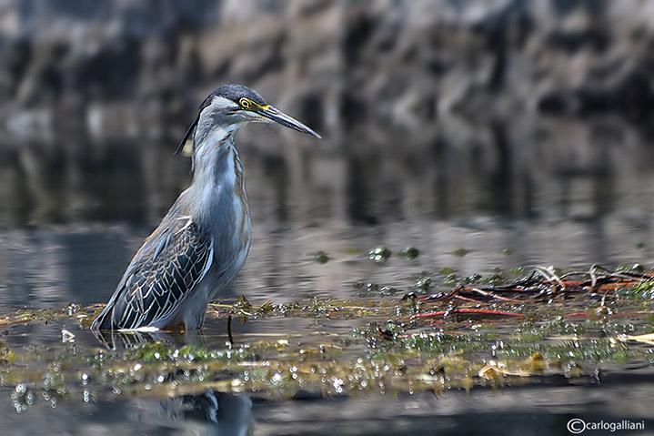 Airone striato - Mangrove Heron(Butorides striatus)