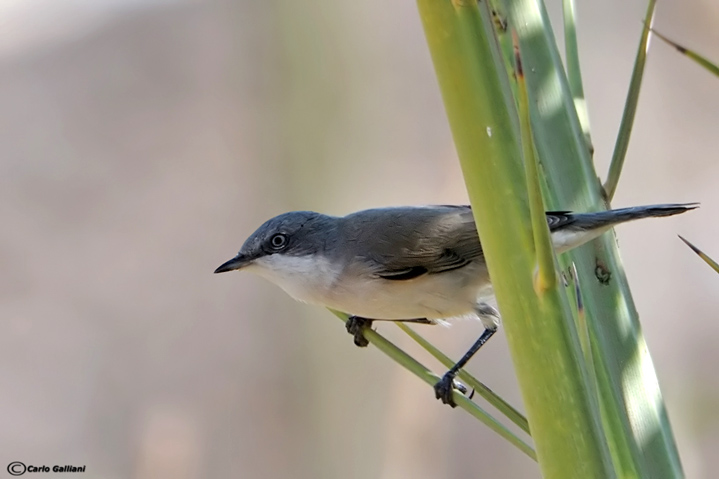 Bigiarella-Lesser Whitethroat (Sylvia curruca)