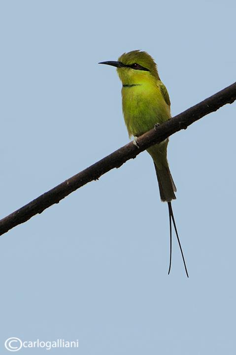 Gruccione verde minore - Green Bee-eater(Merops orientalis)