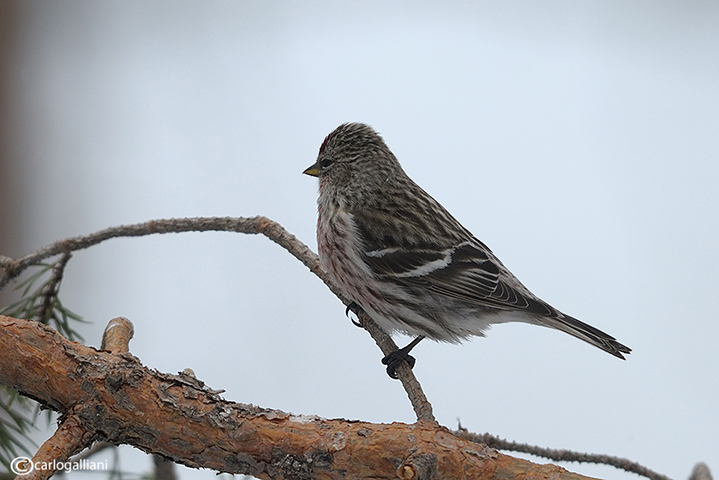 Organetto- Mealy Redpoll (Carduelis flammea)