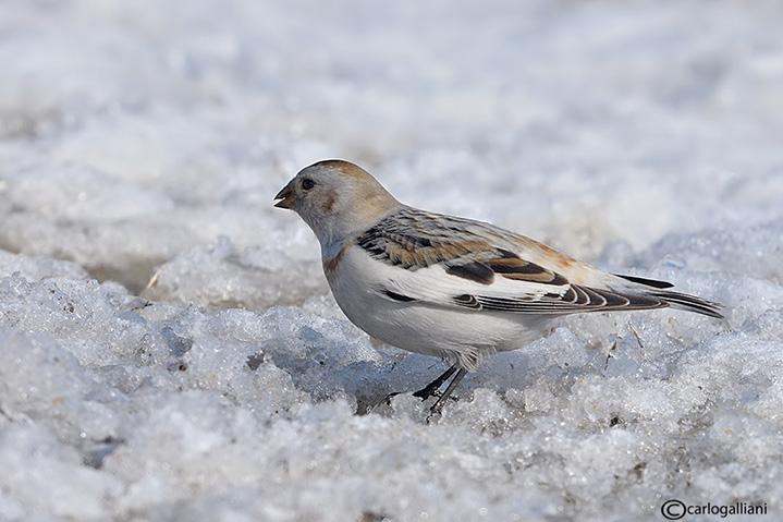 Zigolo delle nevi -Snow Bunting (Plectrophenax nivalis)