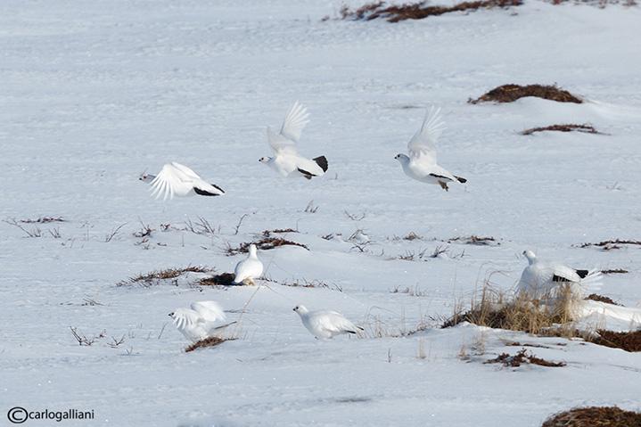 Pernice bianca nordica-Willow Grouse (Lagopus lagopus)