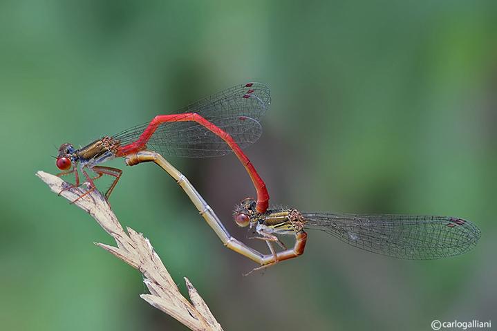Ceriagrion tenellum mating