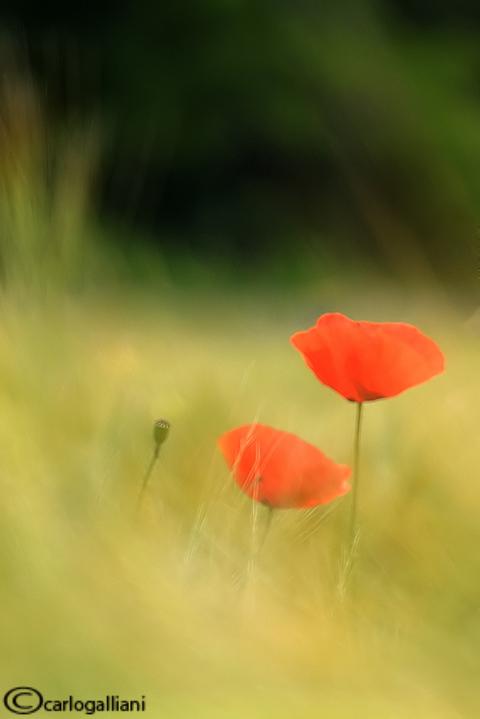 Papaveri - Poppies