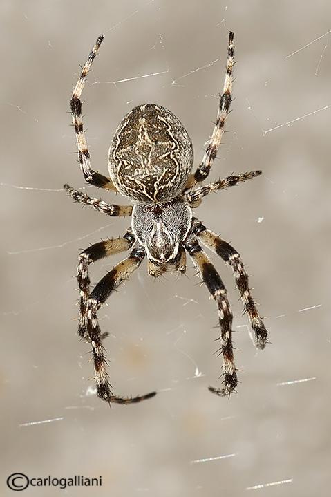 Larinioides sp.