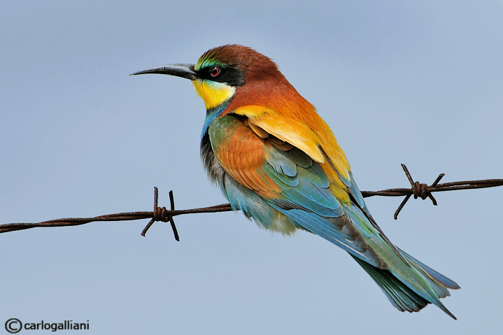Gruccione- European Bee Eater -(Merops apiaster)