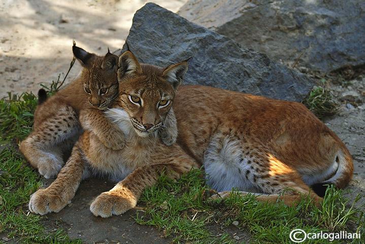 Lince-Eurasian Lynx (Felix lynx)