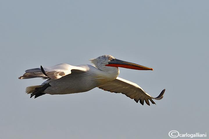 Pellicano riccio- Dalmatian Pelican (Pelecanus crispus)