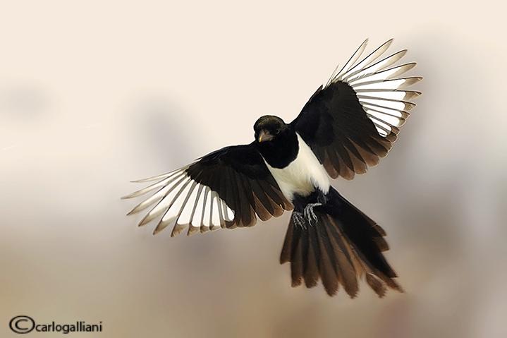 Gazza -Eurasian Magpie (Pica pica)