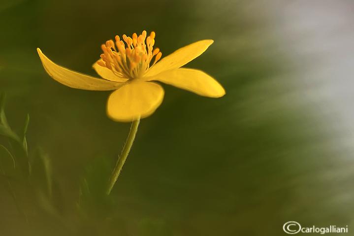 Anemone ranuncoloides