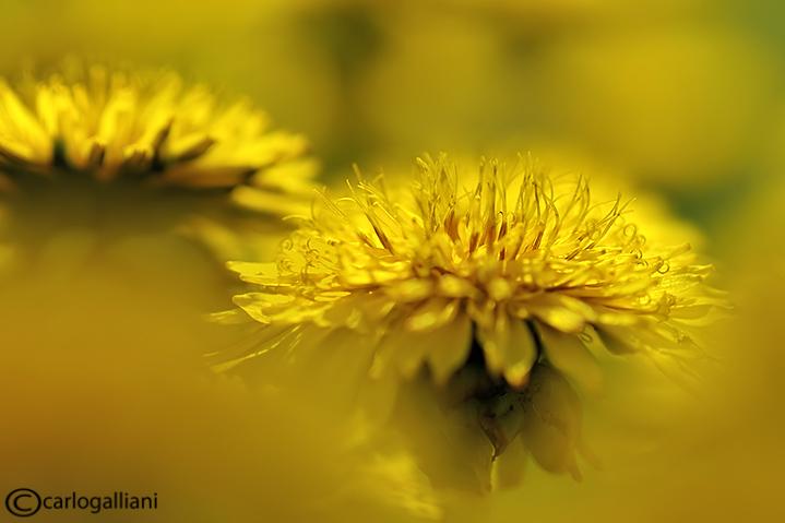 Yellow - Dandellion