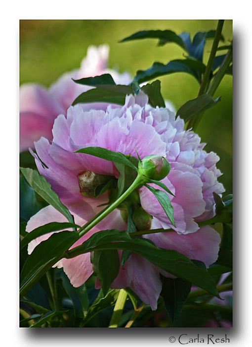 Gardens Beauty......the Peony
