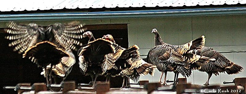 Perching Turkeys?