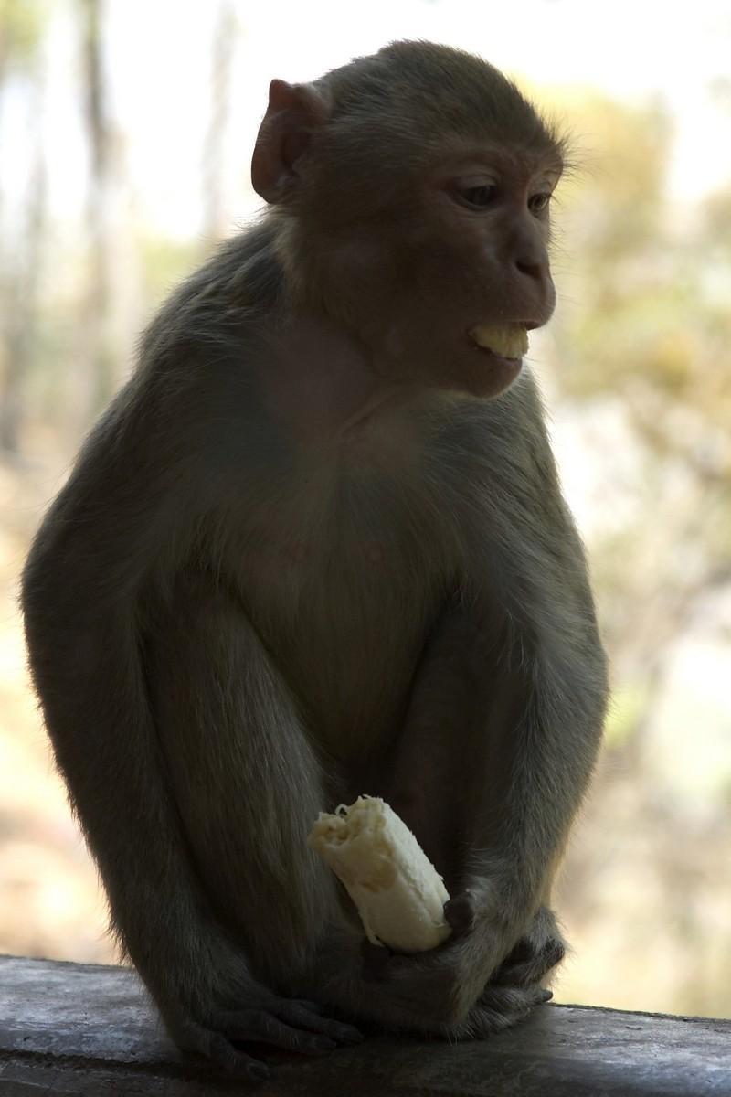 Monkey eats banana, Mount Popa