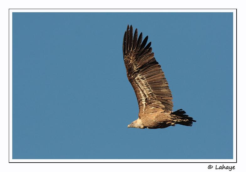 Vautour fauve / Griffon Vulture /  Gyps fulvus