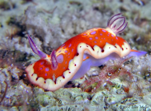 Crabby Chromo