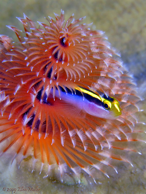 Worm & Goby