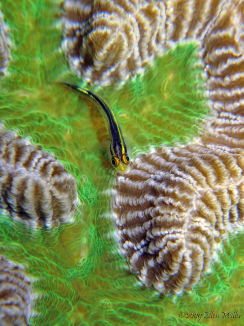 Goby on Green