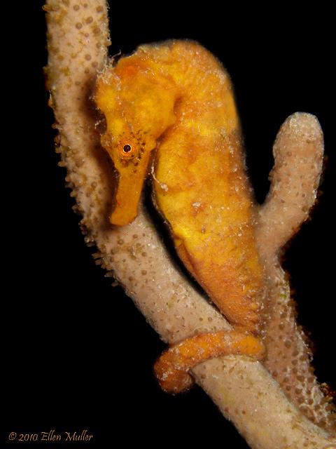 Orange Seahorse