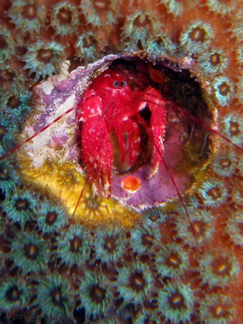 Lobster Shrimp