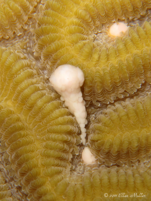 Daytime Brain Coral Spawning