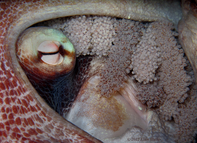 Octopus with Eggs