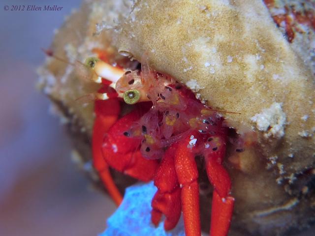 Reef Hermit & Babies