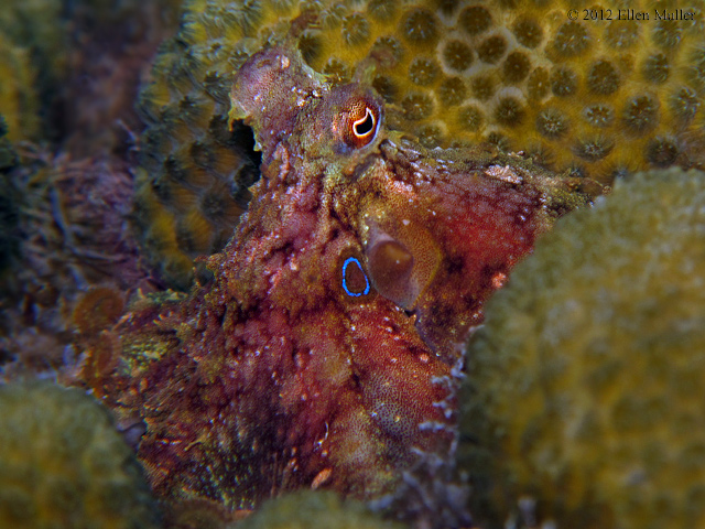 Two Spot Octopus