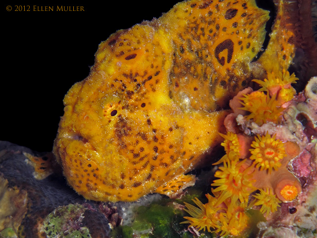 Spotty Frogfish 2