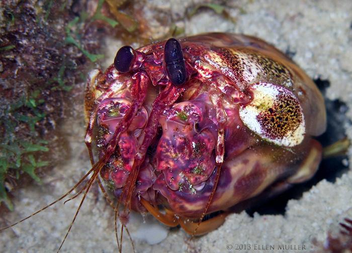 Scaly Tailed Mantis