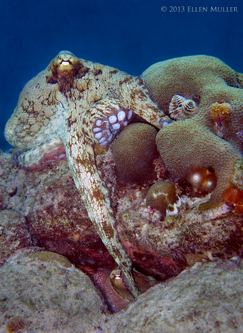 Common Octopus Mating
