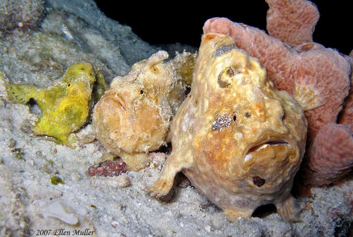 Three Frogfish