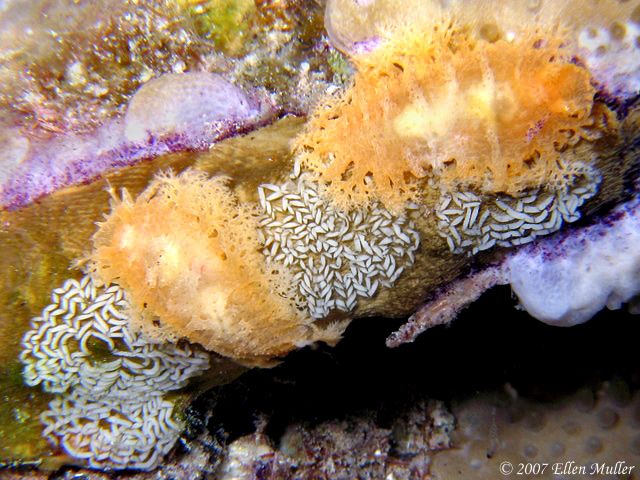 Egg Laying Tufted Nudibranchs