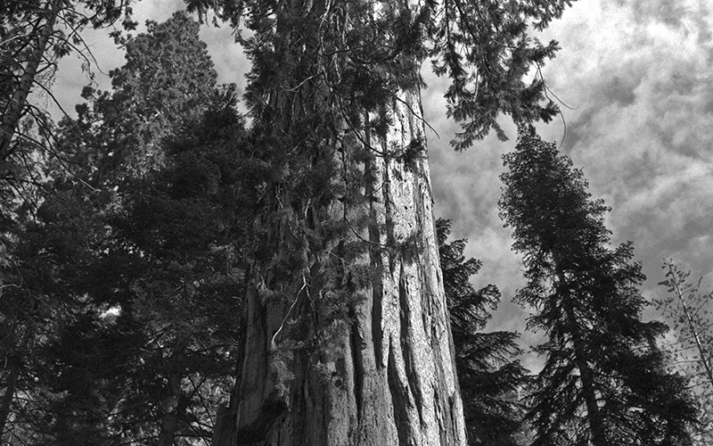 Majestic Redwood