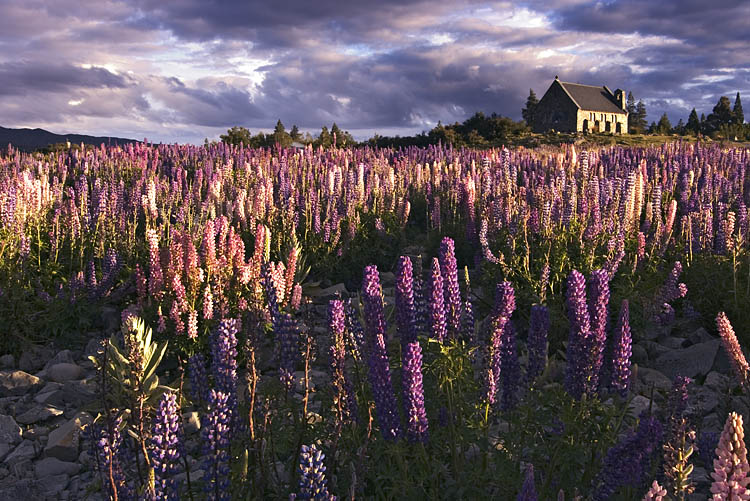 Lupins and the Church of Good Shepherd, Lake Tekapo, Canterbury, New Zealand